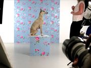 Boris the Whippet for Graham and Brown wallpapers